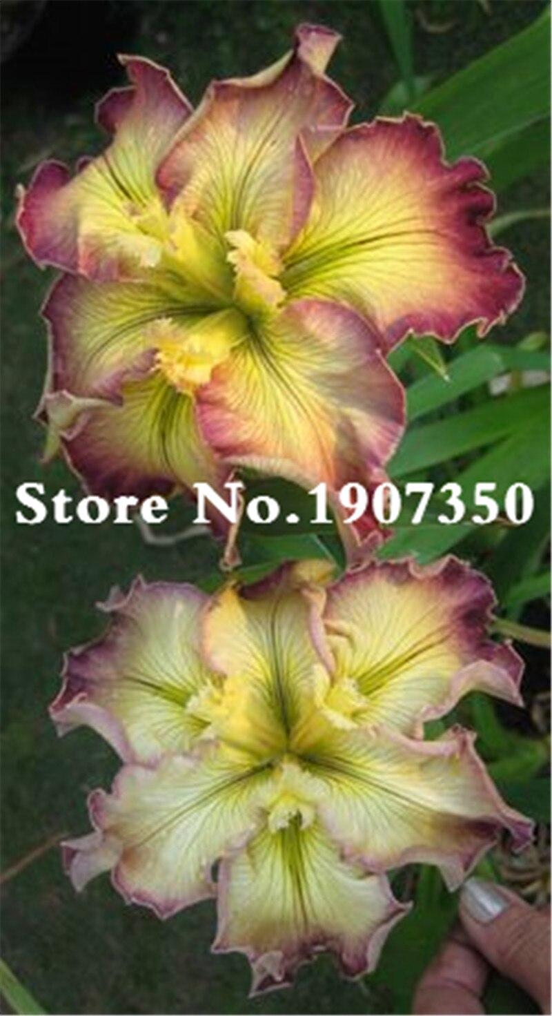 100 Pcs Aquatic Plant Iris Flower Bearded Iris Rare Bonsai