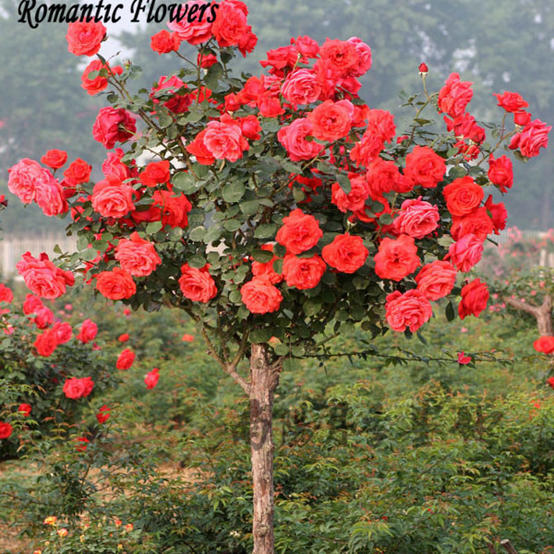 Popular Rose Tree-Buy Cheap Rose Tree lots from China Rose