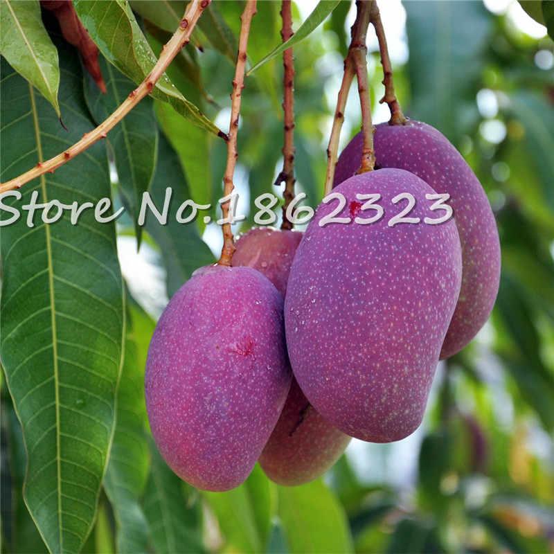 1 pçs/saco Manga Bonsai planta de Mini Bonsai Árvore Mangifera indica plano de Frutas E Vegetais Orgânicos Plantio Pot Para Jardim de Casa