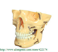 Free Shipping Skull model extraoral model dental tooth teeth dentist anatomical anatomy model odontologia free shipping skull model 10 1 extraoral model dental tooth teeth dentist anatomical anatomy model odontologia
