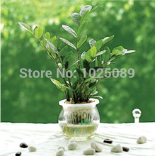 50 pcs/ bag,Money Tree seeds, potted balcony, planting is simple, budding rate of 95%, radiation absorption, mixed colors