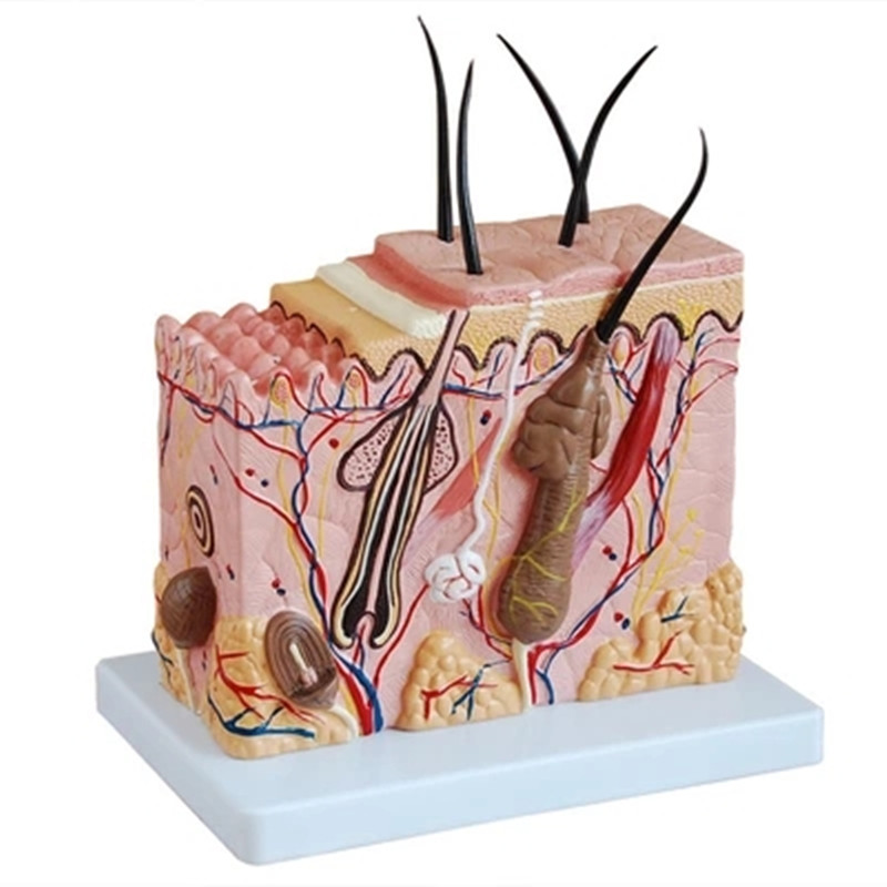 Skin Block Model,Skin Section model,Human Skin Anatomical ModelSkin Block Model,Skin Section model,Human Skin Anatomical Model