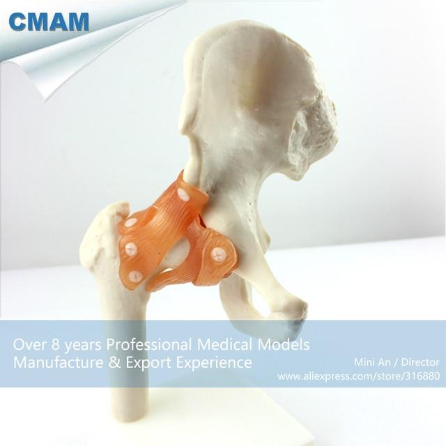 12353 CMAM JOINT06 Life Size Esqueleto Modelo de Articulación de La ...