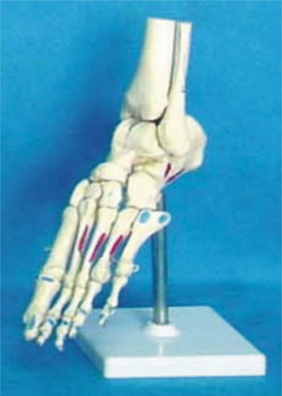 Human Skeleton 11 Foot Joint Bone Muscle Coloring Model Medical