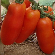 Bunches of bananas Hot Tomato Seed 200 seeds organic vegetable seeds