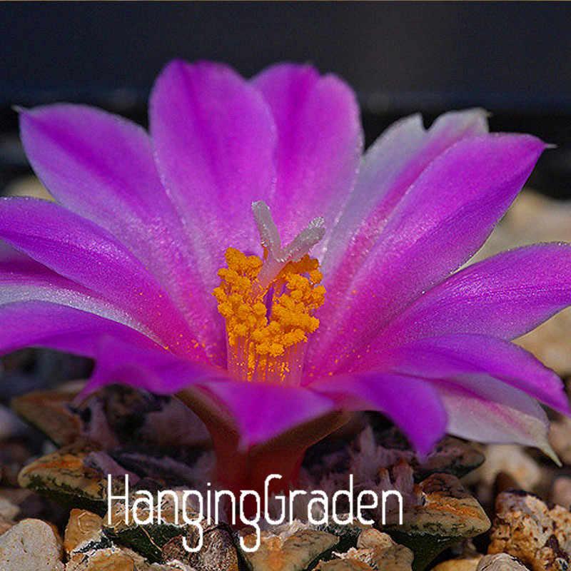 100 Bonsai, ดอกไม้สีม่วงดิบหินดอกไม้หม้อ Garden, ห้องนั่งเล่นและสำนักงานระเบียงปลูก Succulents Lithops Plantas # 8GEA