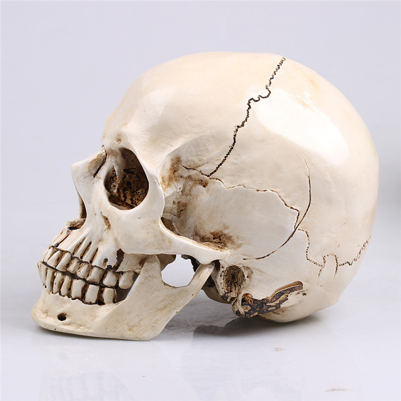 Smooth Split Skull Resin Make Up Medical Painting Film Professional Mold Sculpture  Crafts Halloween Home Decoration Accessories