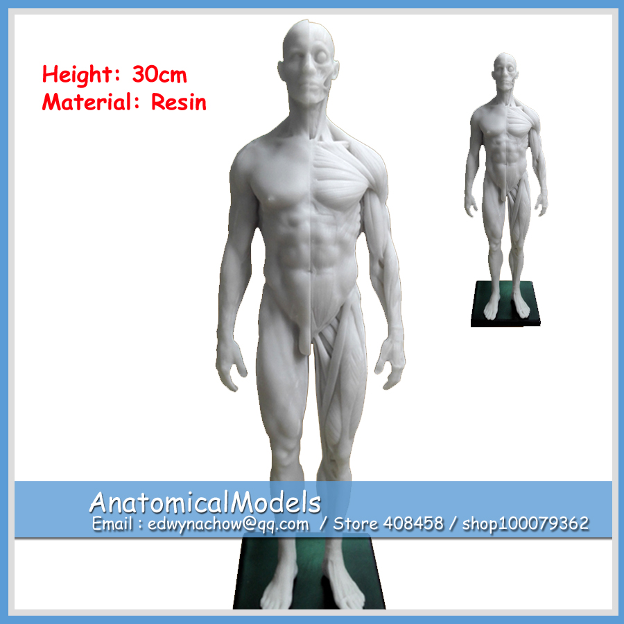 ED-AM008 30cm Height Human Anatomical Anatomy Skull Sculpture Head Body Model Muscle Bone 1:6 life size human anatomical anatomy head skeleton skull model cheap and fine