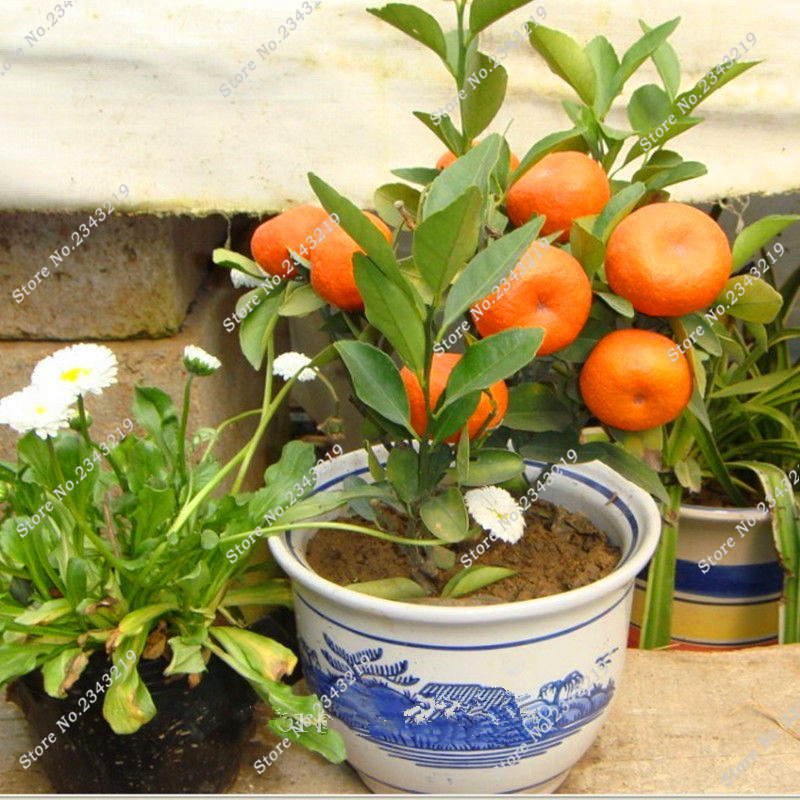 Fruit seeds Orange Tree Seeds DWARF WASHINGTON NAVEL Grow Indoors or Outdoors 20pcs fruit seeds