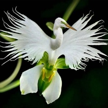 100pcs/ Imported Cymbidium Orchid Phalaenopsis Outdoor Bonsai Flower Pot Balcony Planta for Home Garden Planting Easy to Grow