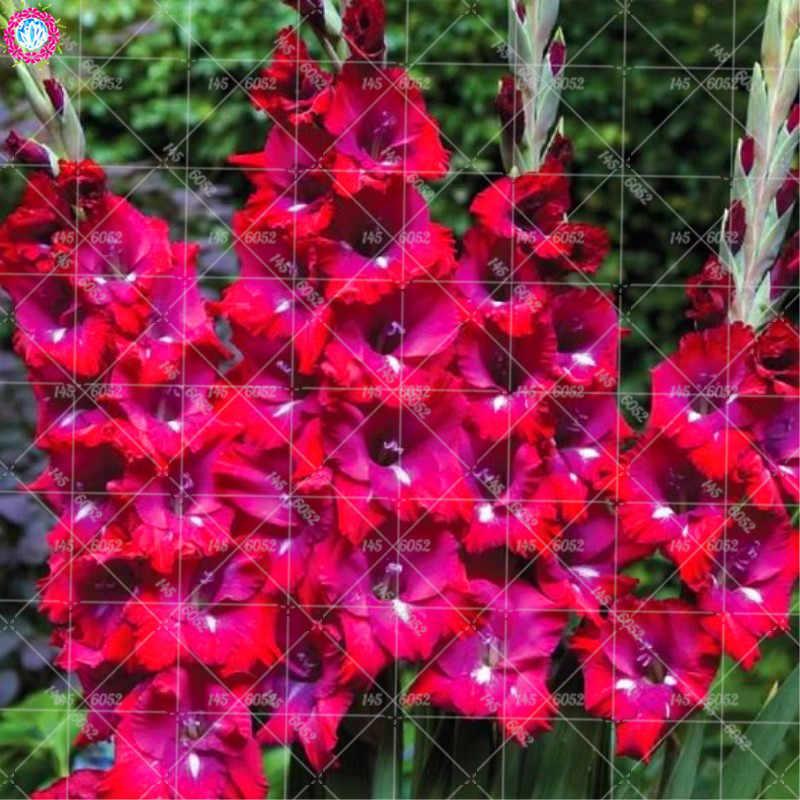 100pcs Gladiolus not bulbs bonsai rare flower Vaniot Houtt perennial beautiful flowers for home garden potted plants