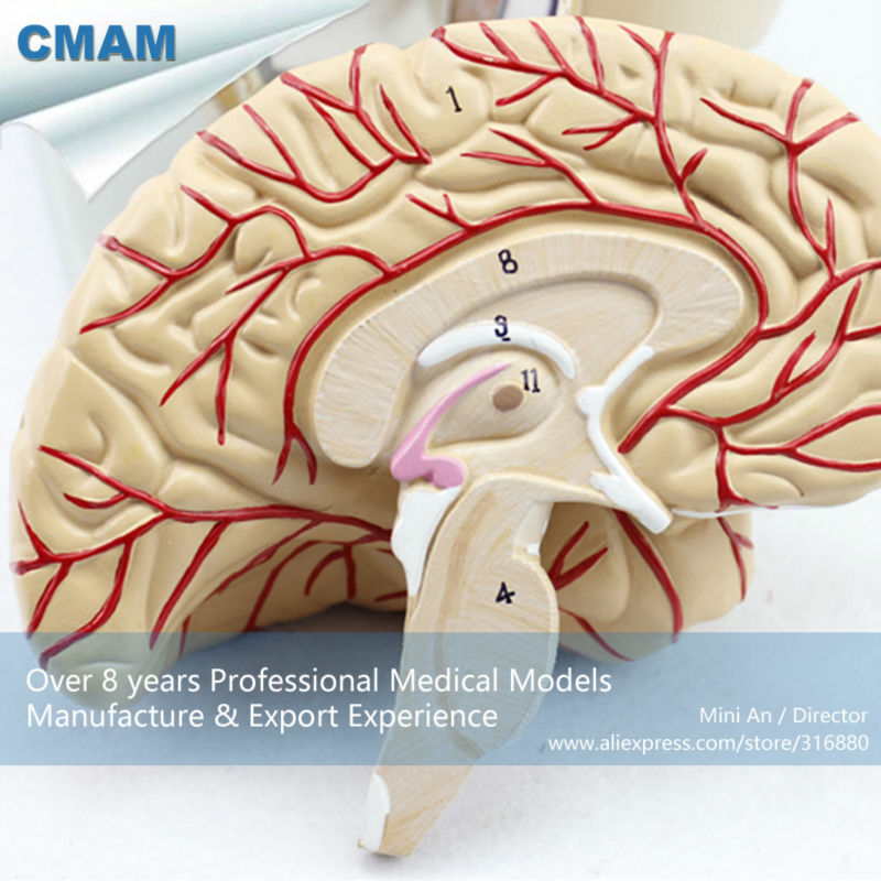 12401 CMAM BRAIN04 Section of Head with Brain, 4 Parts, Anatomy ...