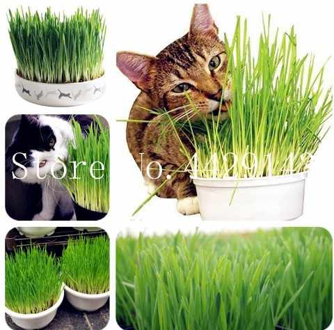 Free Shipping 200 Pcs Cat Grass Plant Herb Edible Lemongrass Kitchen Vegetable Bonsai Medicinal Use graines legumes potager