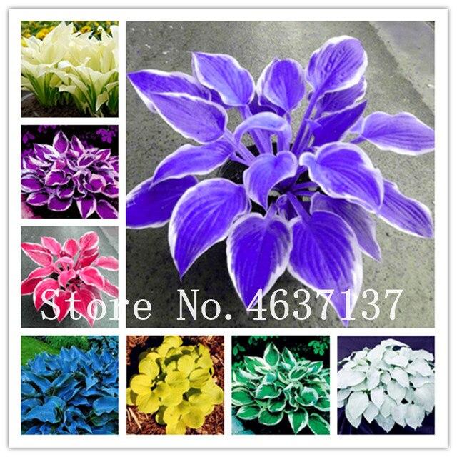 100 Pcsbag Beautiful Colorful Hosta Plants Perennials Lily Bonsai