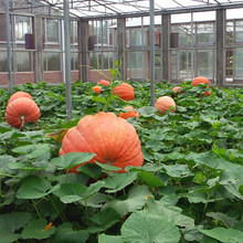 10Seed/Bag Giant Pumpkin bonsai Super Pumpkins Orna-Mental Gourd vegetable for home garden potted plants plant(China)
