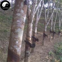 4pcs Rubber Tree Semente Plant Hevea Brasiliensis