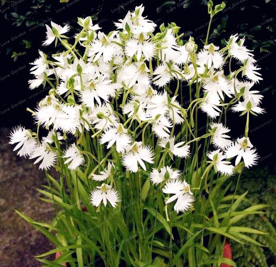 White Dove Orchids Seeds Worlds Rare Flower Japanese Radiata Seeds For Garden & Home Planting White Flower Seeds 50PCS Seeds
