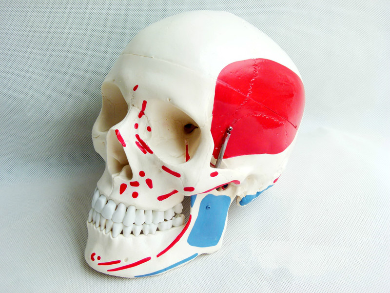 купить 1:1life size medicine skull model natural skull muscle coloring model skull model adult skull