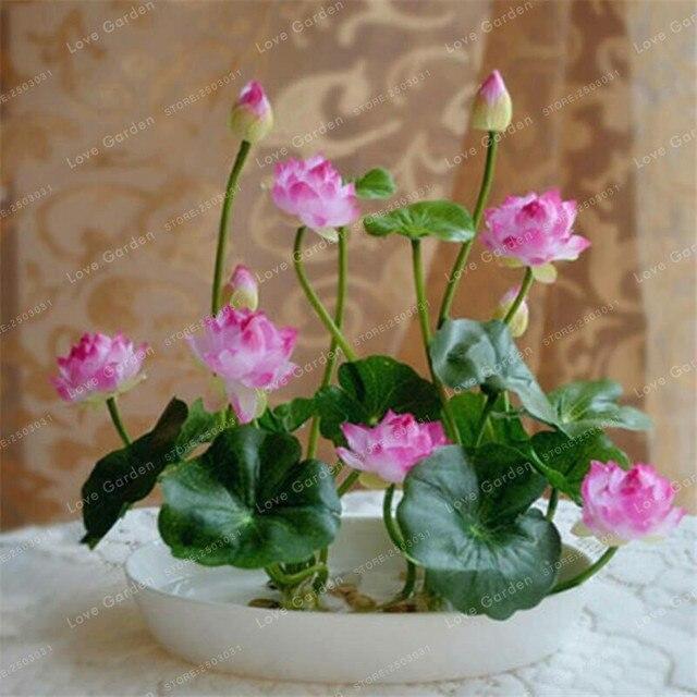10 Pcs/Pack Bowl Lotus Bonsai Hydroponic Plants 4