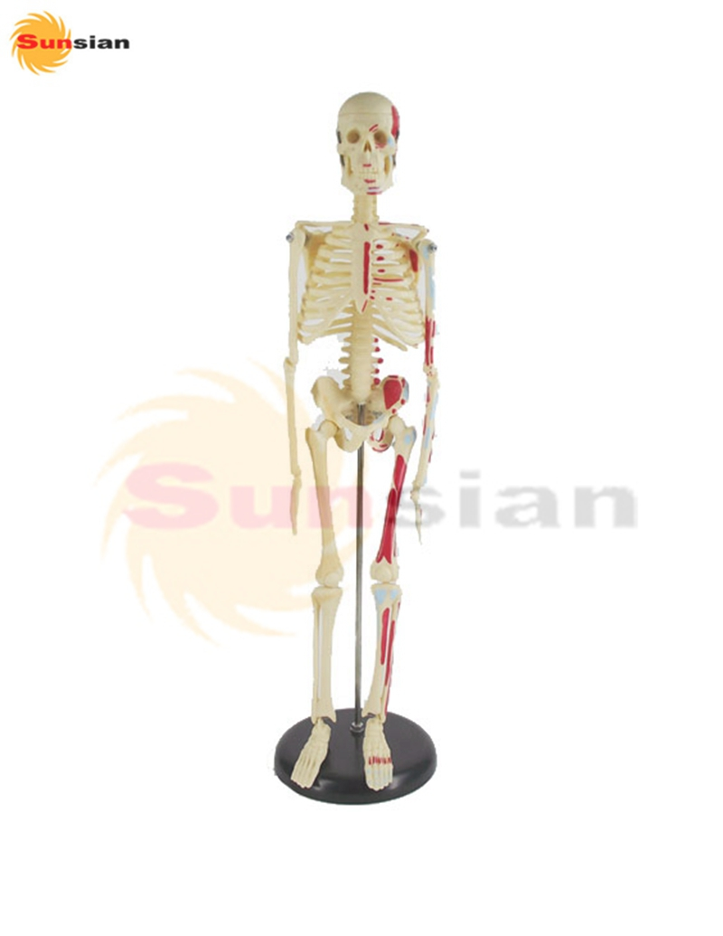 45cm human skeleton model with colored muscle ,human skeleton anatomical  model  factory supply good news factory price human skeleton model with colored muscle of half body