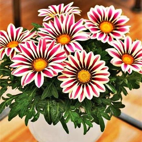 200 piezas rigens flores para Bonsai jardín balcón 2017 envío gratis Semillas Gazania Splendens crisantemo