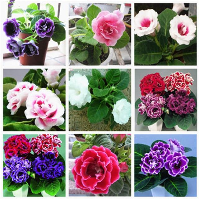 100 pcs / bag Imported Gloxinia Plant Bonsai Perennial Sinningia Gloxinia Flower Plants for Home Garden Pot Easy to Grow