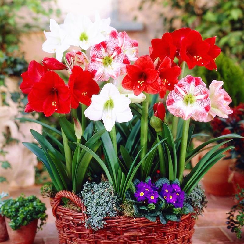Amaryllis lampen True hippeasbulbs True Hippeastrum lampen bloemen Barbados Lily indoor huis tuinplanten op het balkon van bolvormige 2 lampen