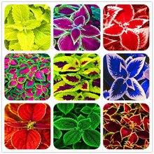 Лидер продаж 100 шт. Редкие экзотические Coleus бонсай цветы в горшках карликовые деревья сад, двор, балкон Begonia цветок растения смешивать цвета