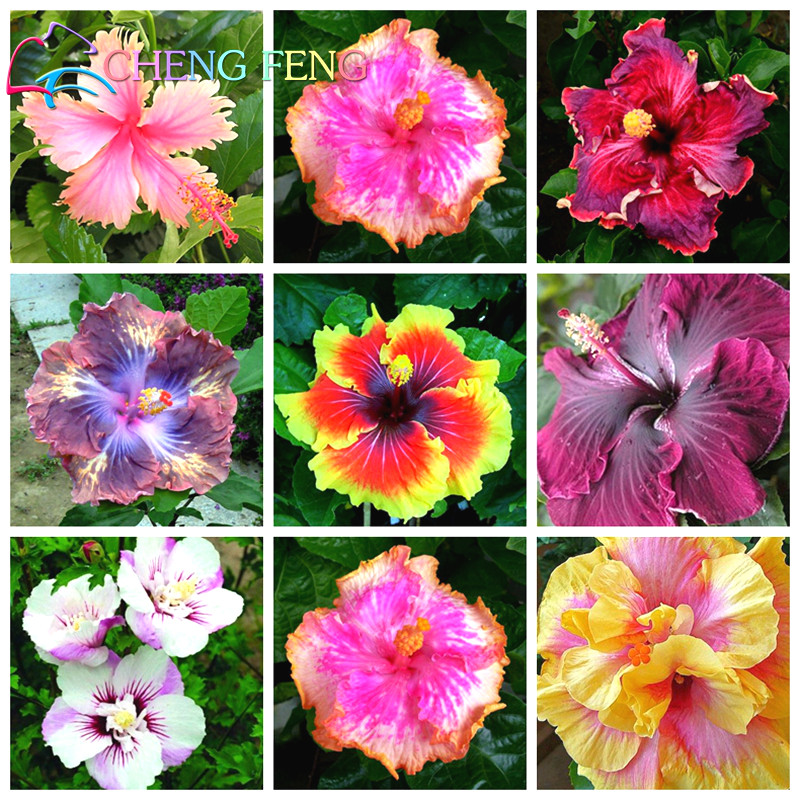 On Sale 100pcs Hibiscus Seeds 24kinds Mix Color Beautiful Rosa sinensis Flower Seeds Perennial Flower Tree
