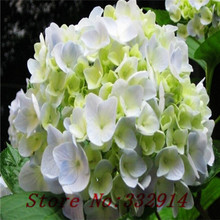 Sale!free shipping 100 Green Hydrangea Flower seeds,rare color ,lasting,gorgeous balcony or yard flower plant