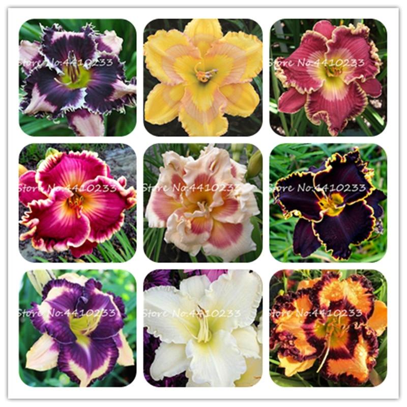 100 шт. смешанные Цвет Тони Лилейник бонсай, Крытый цветочный горшок Plantingm, редкие Цвет Гибридный Hemerocallis новый день лилии сад план