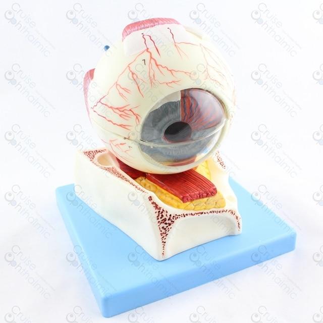 Premium Augapfel Anatomie 5X Großen Stand GD103 | Optometrie Schule ...