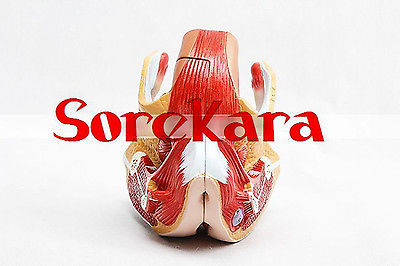Human Anatomical Female Genital Urinary System Dissect Medical Organ Teach Model School Hospital medical anatomical torso anatomical model structure human organ system internal organs large throat gasen rzjp075