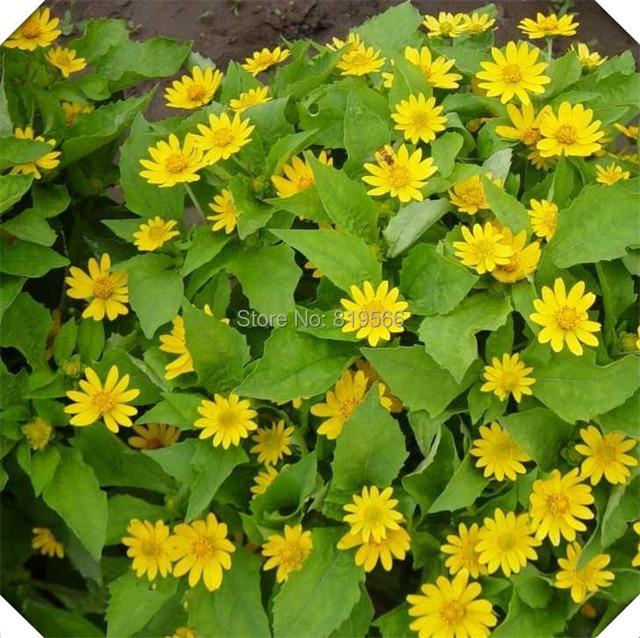 Emperor Daisy Chrysanthemum Flower Seeds Indoor home Gazania rigens ...