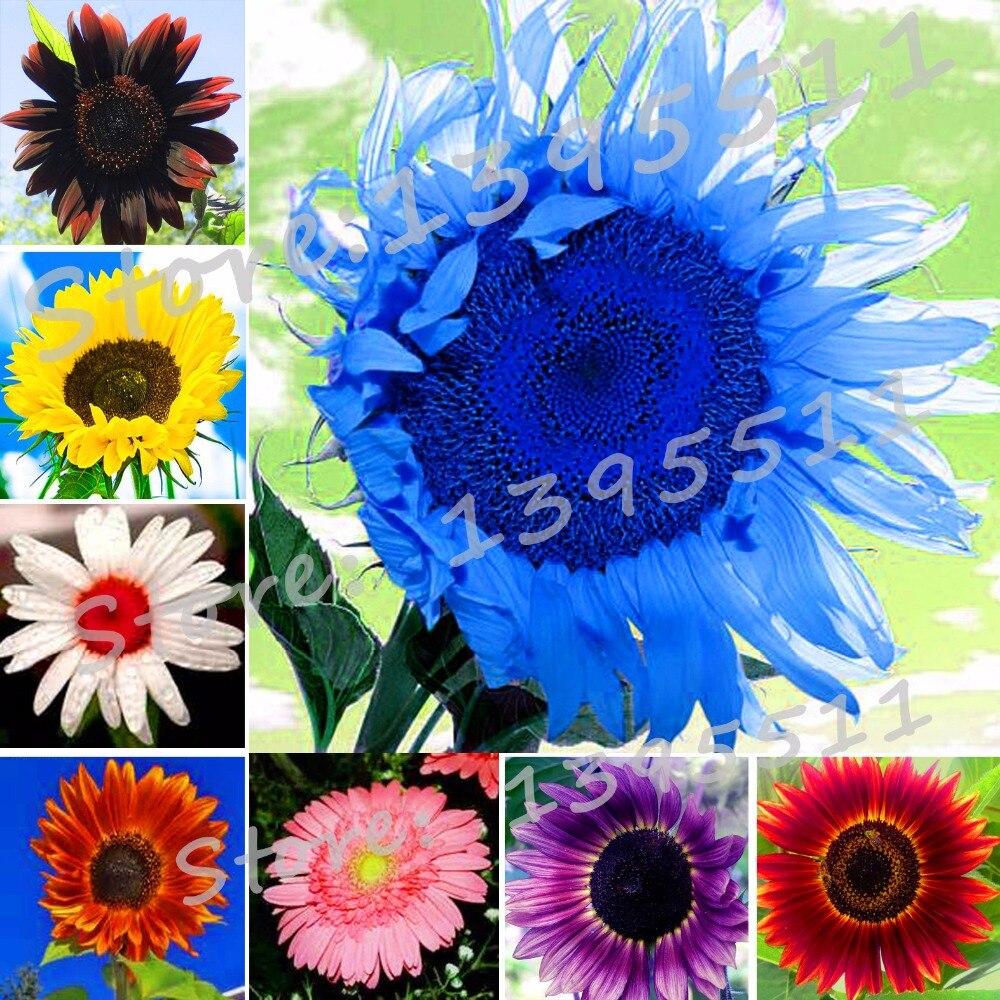 New 40pcs/bag 24 colors sunflower seeds Organic Helianthus annuus seeds ornamental flower seed sunflower paint for home garden