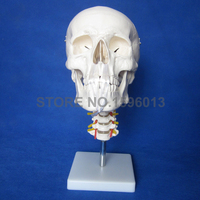 HOT Skull Model with Cervical Spine and neck artery, Anatomical Skull model