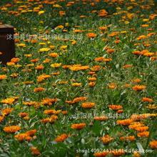 Flower Calendula marigold plant longevity daiplanty yellow calendula flowerplant hangover regular flower 200g / Pack