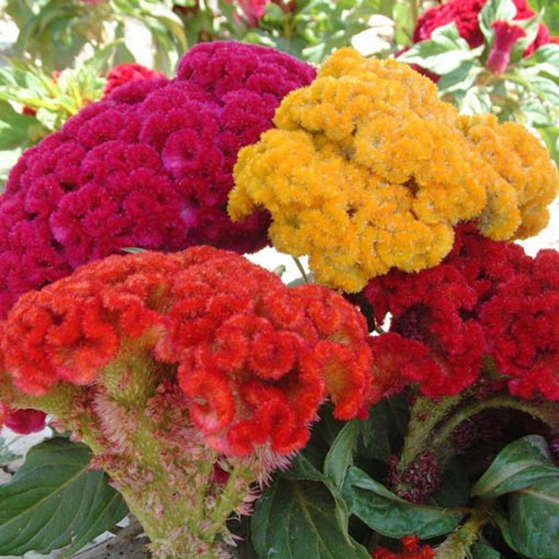 100seedsbag Celosia Flower Plant Heads Cockscomb Multiple Mixed