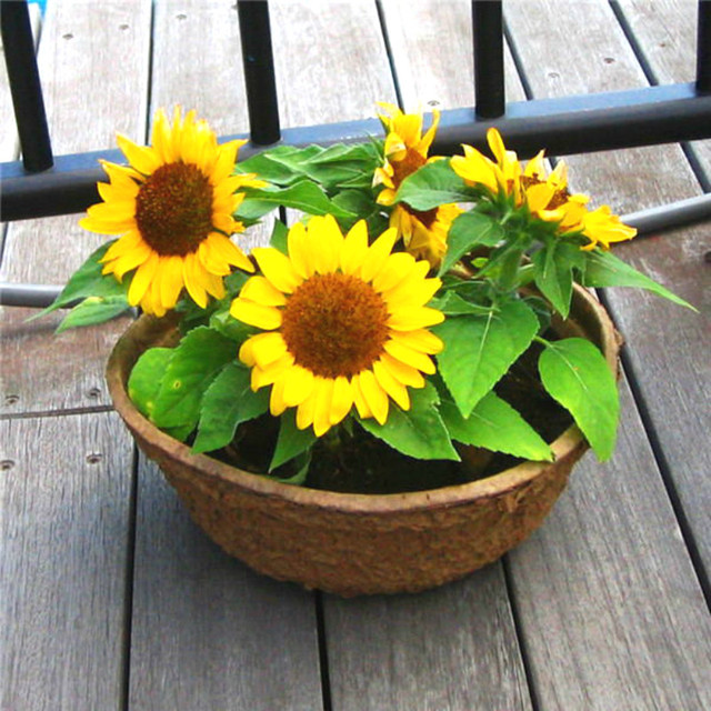 Free Shipping 50pcs Sunflower bonsai 9 kinds of Sun Fortune Bloom Garden Plants jardin beautiful flowers Easy To Grow