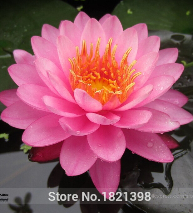 Online get cheap indoor pond plants for Cheap pond plants