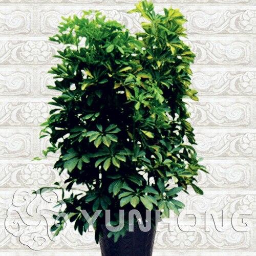 Бесплатная Доставка 10 шт. шеффлера Octophylla завод крытый бонсай DIY бонсай, сад в горшке домашний экзотические интересное растение