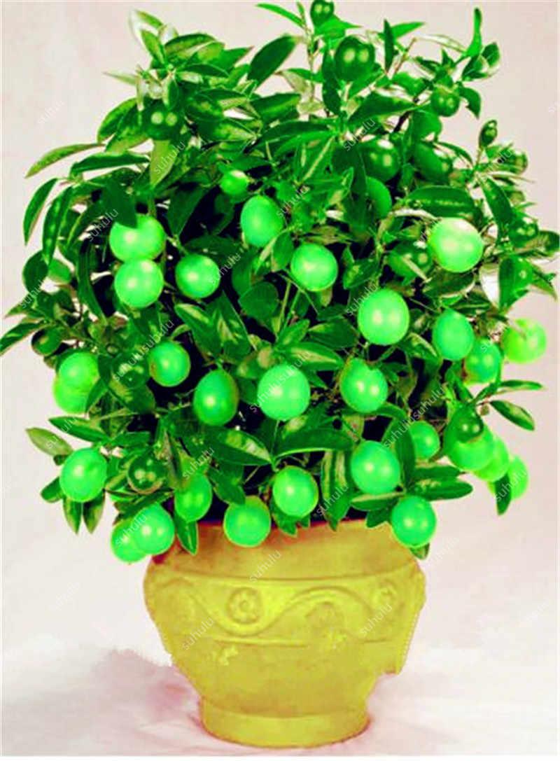 30 Pcs di Frutta Commestibile Meyer Limone Bonsai, esotico Agrumi Bonsai Lemon Tree Piante Fresche di Frutta Verdura Piante di Erbe Facile da Coltivare
