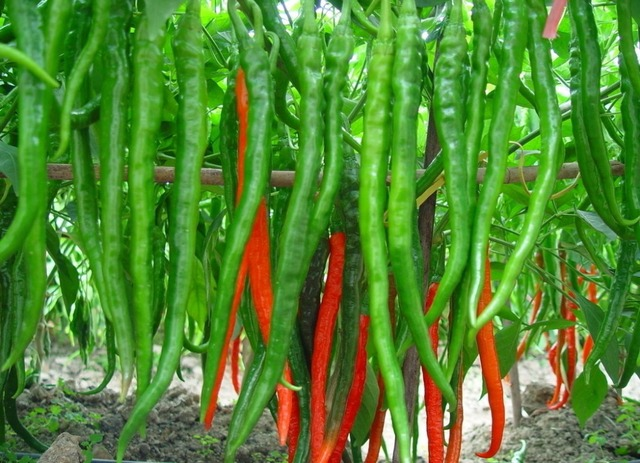 Vegetable-seeds-Genuine-Fresh-Rare-Red-Pepper-Seeds-hot-chilli-Organic-Vegetable-Chilli-pepper-100-seeds.jpg_640x640.jpg