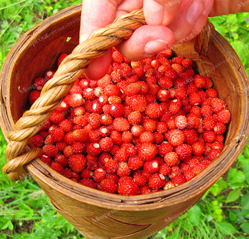 Fruit Seeds 500pcs Red Woodland Strawberry Perfume Bonsai Strawberry Fruit, Edible Strawberry Seeds for Home Garden Plant