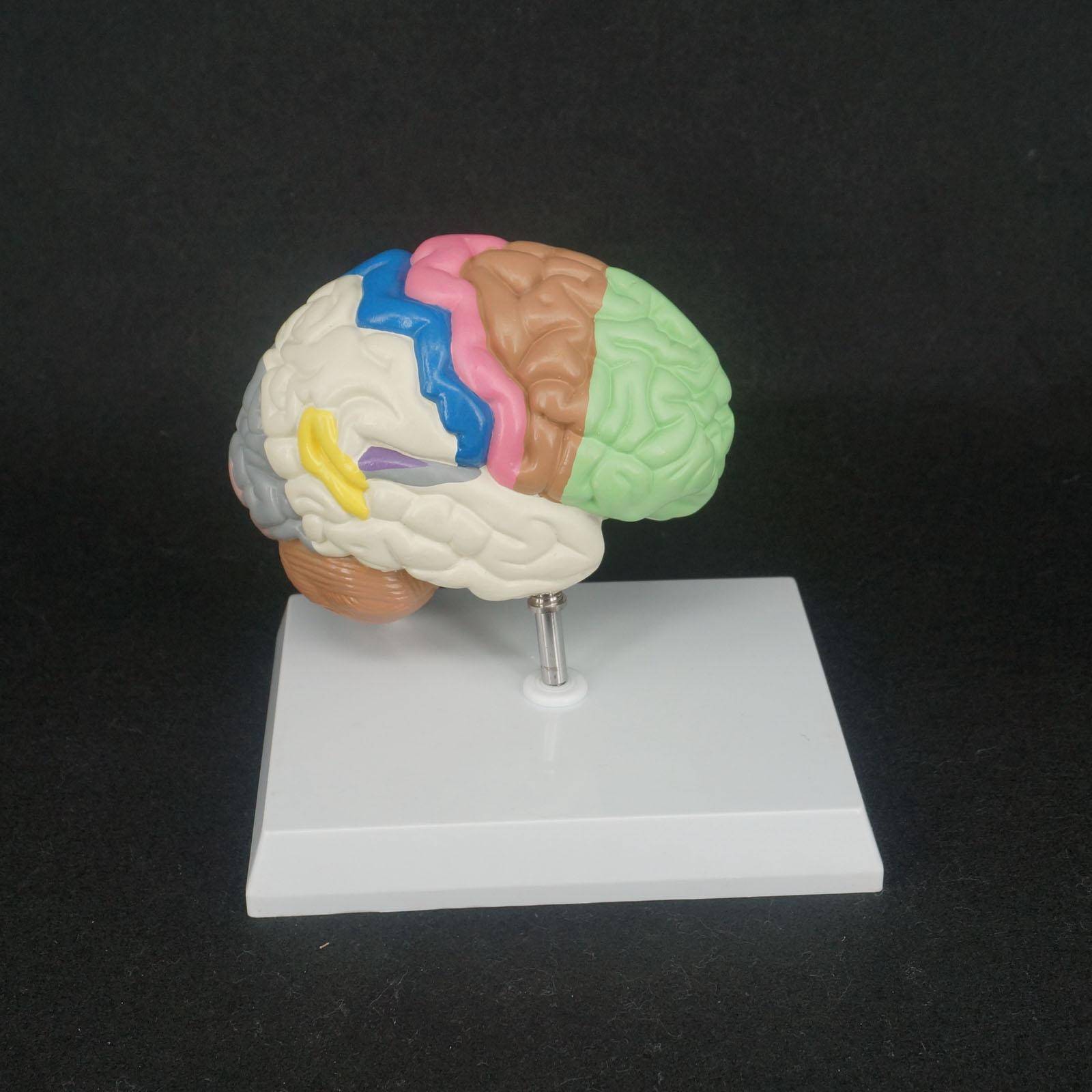 Color Human Brain Domain Anatomy Anatomical Model Right Brain Medical Function Educational Supplies 4d anatomical human brain model anatomy medical teaching tool toy statues sculptures medical school use 7 2 6 10cm
