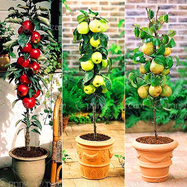 30pcs/bag Dwarf Apple Seeds Miniature Apple Tree Sweet organic ...