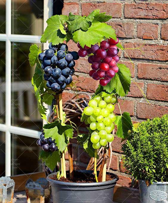 2016 grape seeds Miniature Grape Vine Seeds Organic fruit seeds Succulent plants sweet food easy to grow plant for garden -60pcs