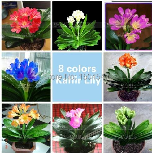Marseed 1 Pcs Gorgeous Clivia Flower Plants Rare Flower