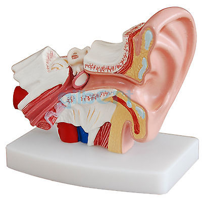 1.5x Leben Größe Menschliche Ohr Anatomie Medizinische Modell Nicht Abnehmbaren Auf Basis Um Der Bequemlichkeit Des Volkes Zu Entsprechen