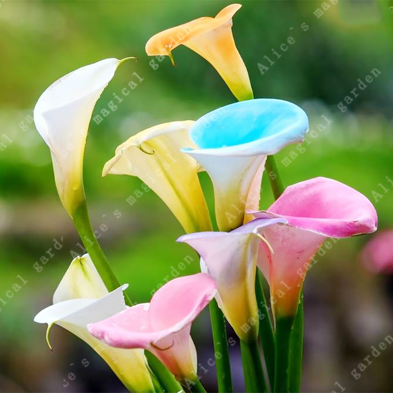 Луковичные растения  Комнатные цветы и растения